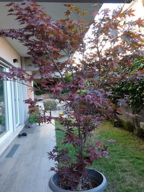 giardino urbano progetto sistemazione del verde acero canadese prato